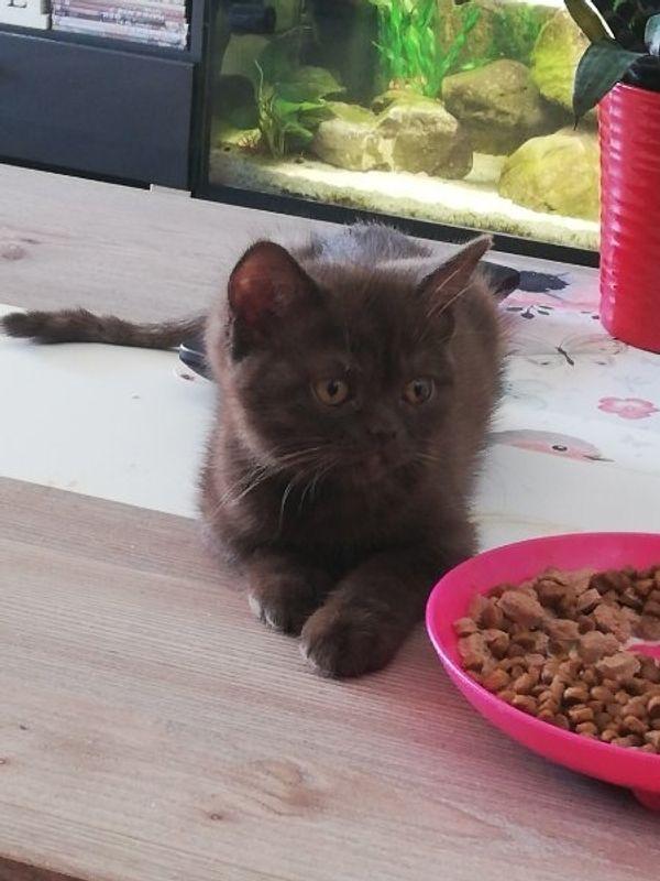 BKH Kitten weiblich