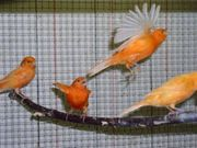 Kanarienvögel in verschiedenen Farben