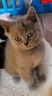 EntzA ckende Bkh kitten blau