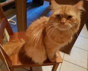 Katze maine-coon