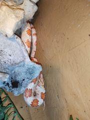 Kornnatter Männchen