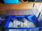 4 Meerschweinchen Böckchen mit Käfig