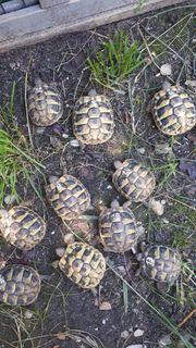 Griechische Landschildkröten 2020 Testudo hermanni