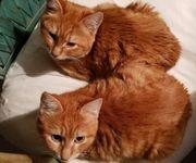Ginger Zora Traumkatzendamen ca 5