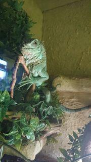 Zwei Leguane suchen ein neues