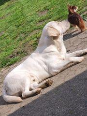 Erfahrener Labrador Deckrüde mit Zzl