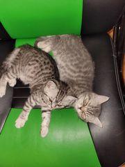 4 BKH Kätzchen suchen eine