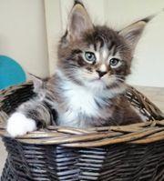 Traumhafte Maine Coon Kitten mit