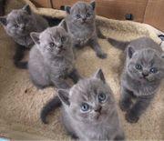 Britisch Kurzhaar Kätzchen BKH