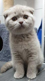 Wurfankündigung Kätzchen BKH scottish fold