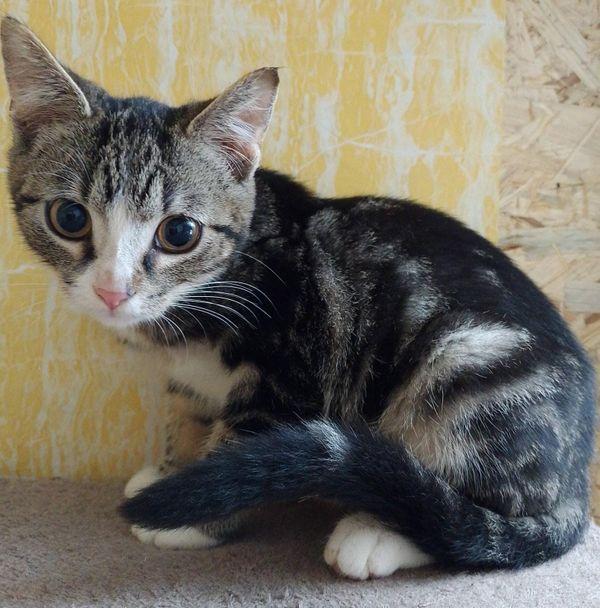 Wunderschöner Baby Kater Kitten Arian