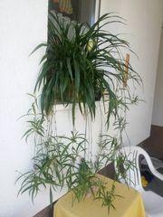 insgesamt 3 große Graslilien