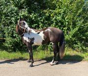 American Paint Horse Black-Overo