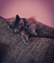 BKH Bärchen Kitten
