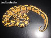 Python Regius Orange Dream - GHI -