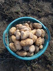 Kartoffeln frische Kartoffeln Speisekartoffeln Einkellerungskartoffeln