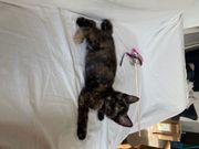 Kleines Schildpatt Kätzchen sucht neues