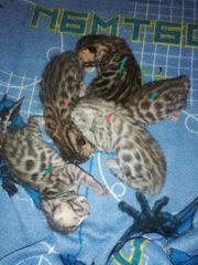 Verkaufen Bengale kitten