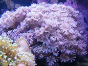 Meerwasser pumpende Xenien Koralle Ableger