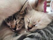 Birma-Mix Kitten suchen ab sofort