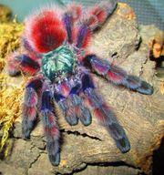 Verschiedene Vogelspinnen Slings abzugeben