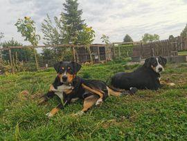 Deckrüde APPENZELLER SENNENHUND: Kleinanzeigen aus Lage - Rubrik Hunde