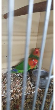Unzertrennliche Papagei