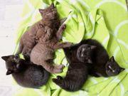 BKH reinrassige Britisch Kurzhaar Kitten