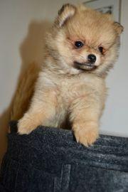 Pomeranian Welpe