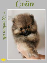 Pomerania zu verkaufen
