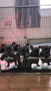 Blaue Französische Bulldoggenfrauen für Verkauf