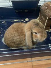 Kaninchen schlappohr