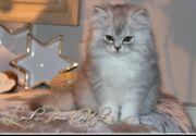 BLH Kitten suchen ein tolles