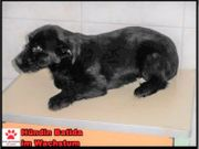 Süße Batida Terrier Welpe sucht