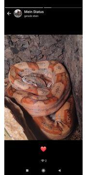 Boa constrictor rotschwanz