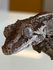 Rhacodactylus auriculatus Höckerkopfgecko