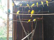 Ziegensittich gelb blau