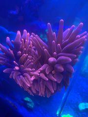 Entacmea Quadricolor Kupferanemone Anemonen Anemonenfisch