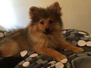 Zwergspitz Pomeranian sucht Traumzuhause