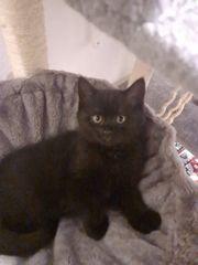Verkaufen BKH Kitten