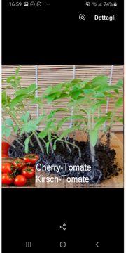 Ich verkaufe Tomatensämlinge für 1