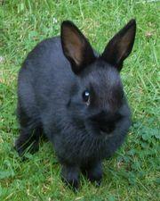 Kaninchen Gustl Deutscher Riese schwarz