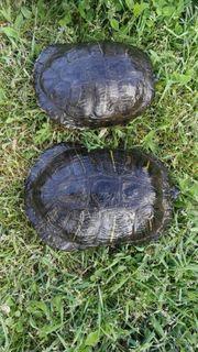 2 große Wasser Schildkröten