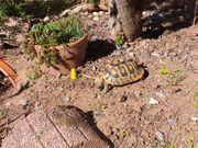Suche weibliche griechische Landschildkröte THB