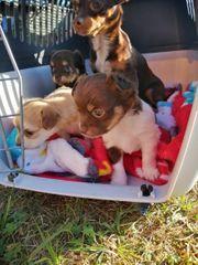2 Chihuahuarüden in Sonderlackierung mit