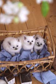 Blue Point BKH Kitten