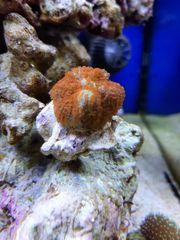Korallen Rhodactis Pilzleder Fiji