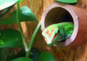 Geckos High Red Madagaskar Taggeckos