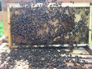 Bienenvolk Ableger Königinnen