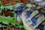 Süße griechische Landschildkröten zu verkaufen